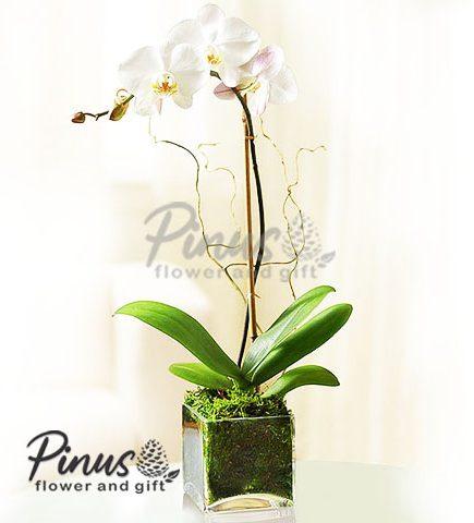Bunga Meja Surabaya - Glorious Floralia Orchid Vase